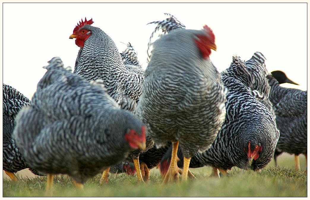 Gefährdete Nutztierrasse 2012
