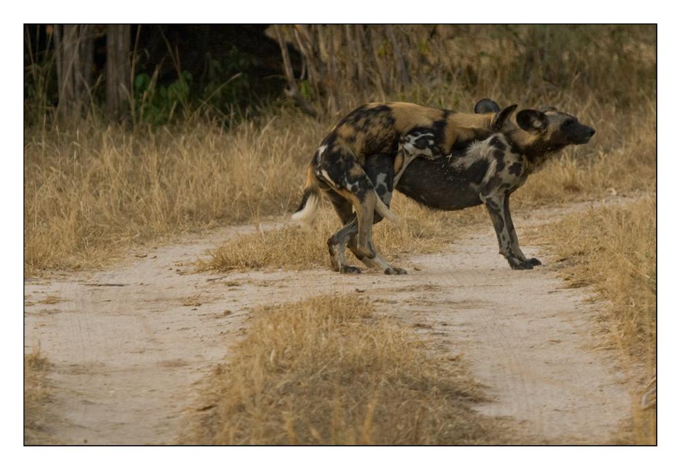 Gefährdete Wild Dogs #2