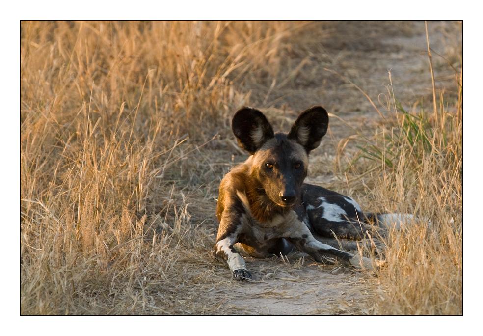 Gefährdete Wild Dogs #3