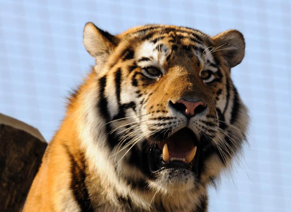 Gefährliche Zähne