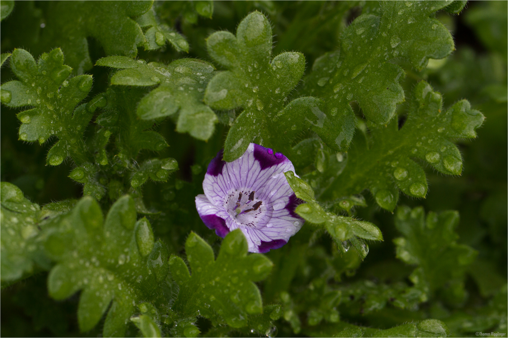 Gefleckte Hainblume (Nemophila maculata)..