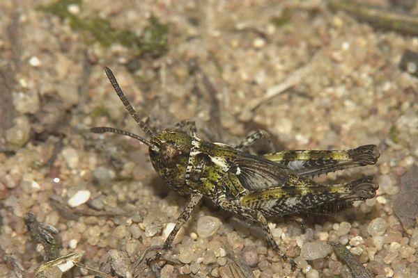 Gefleckte Keulenschrecke – Myrmeleotettix maculatus