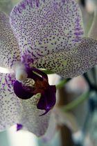 gefleckte Orchidee