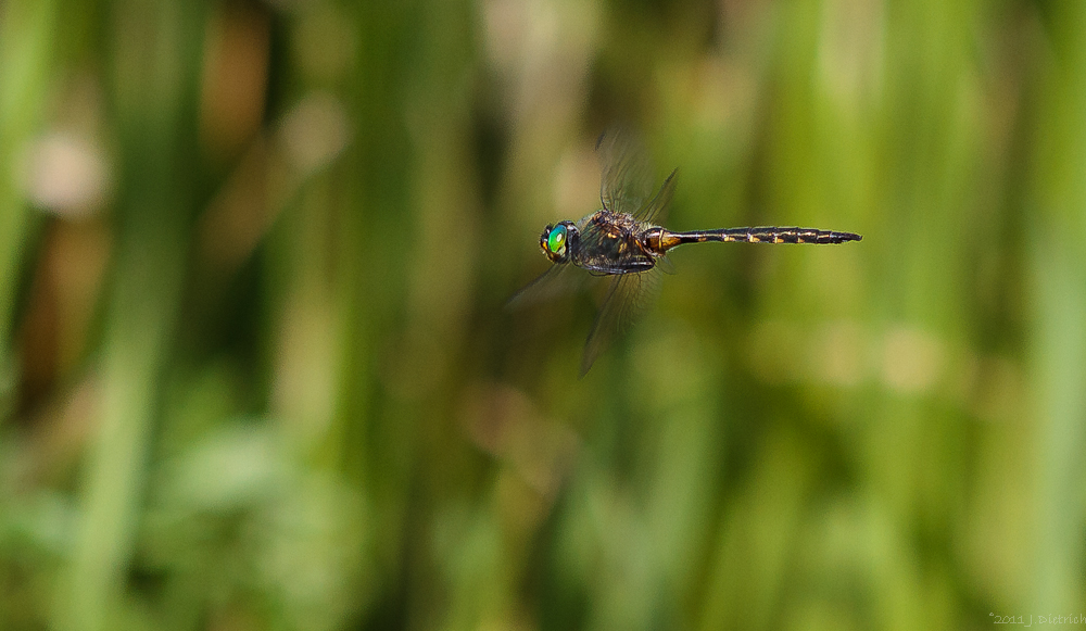 Gefleckte Smaragdlibelle