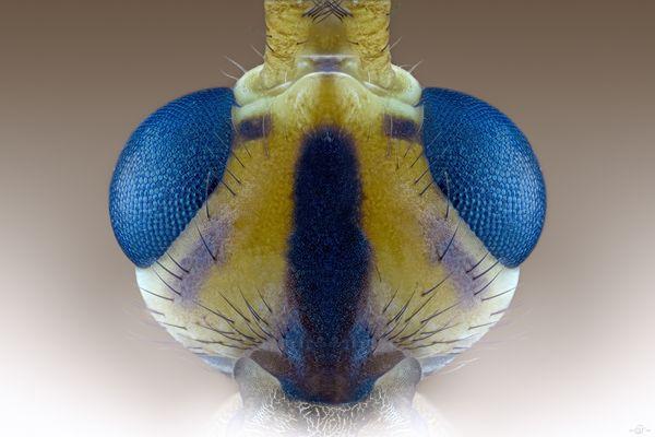 Gefleckte Wiesenschnake ( Nephrotoma appendiculata) vol 1