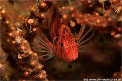 Gefleckter-Büschelbarsch / Cirrhitichthys oxycephalus