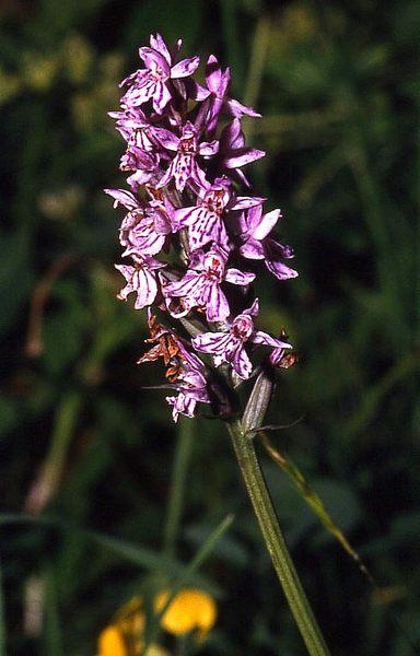 geflecktes Knabenkraut (Orchidee)
