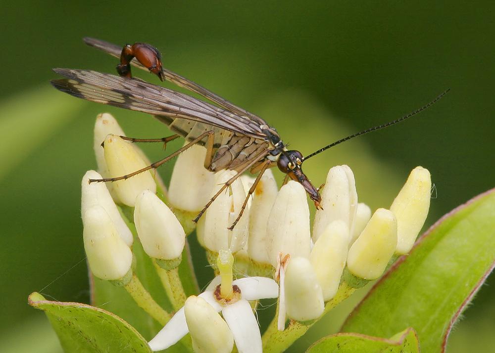 « Geflügelter Skorpion »