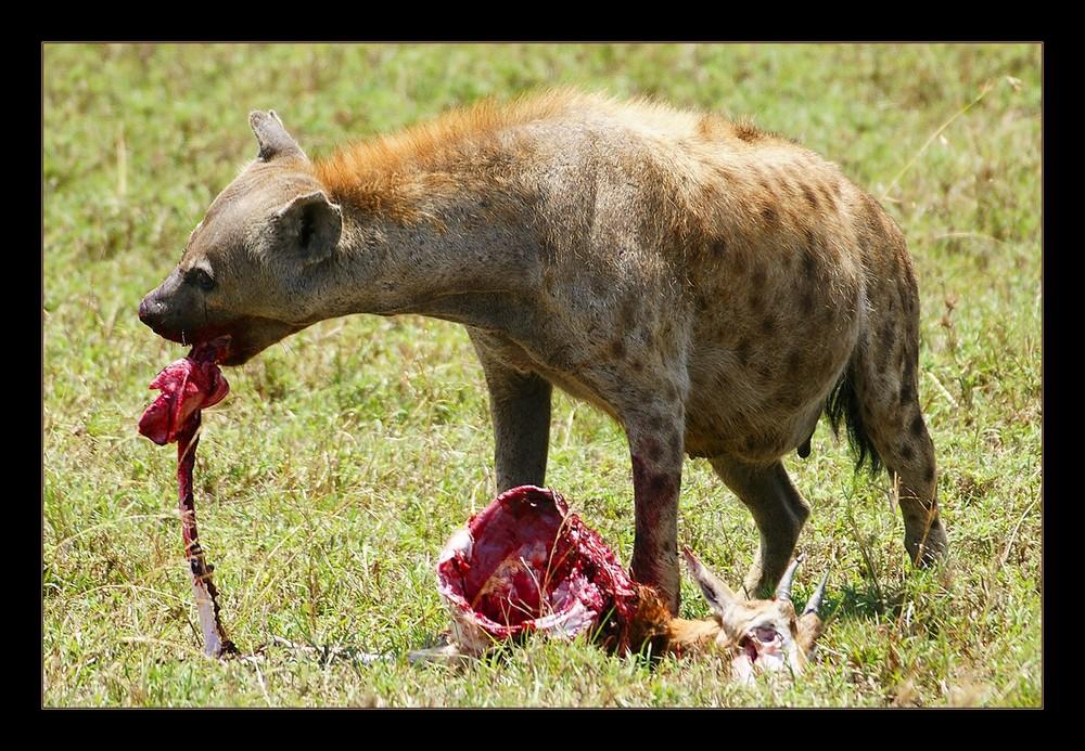 Gefrässige Hyäne