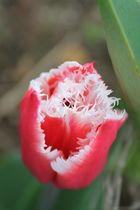 Gefranste Tulpe