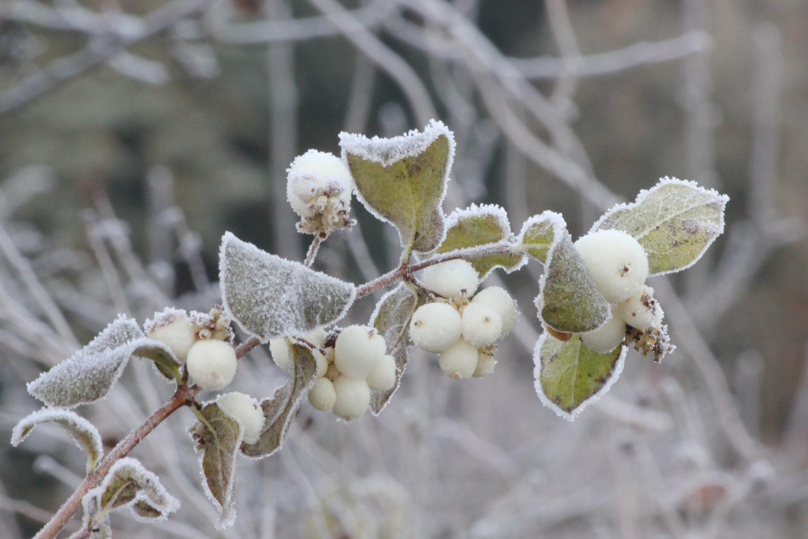 gefrostete Beeren