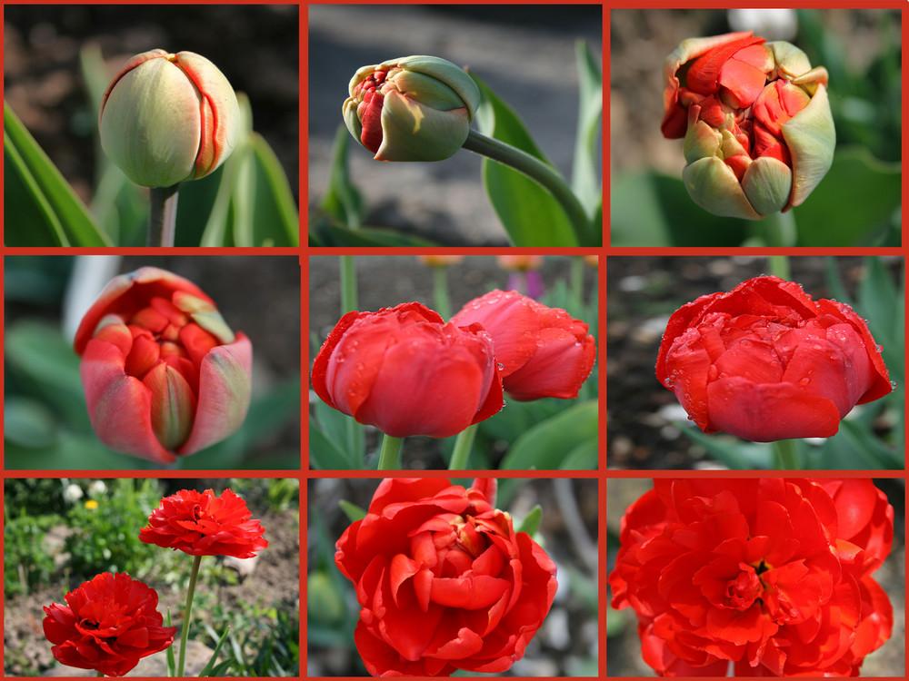 Gefüllte Tulpe