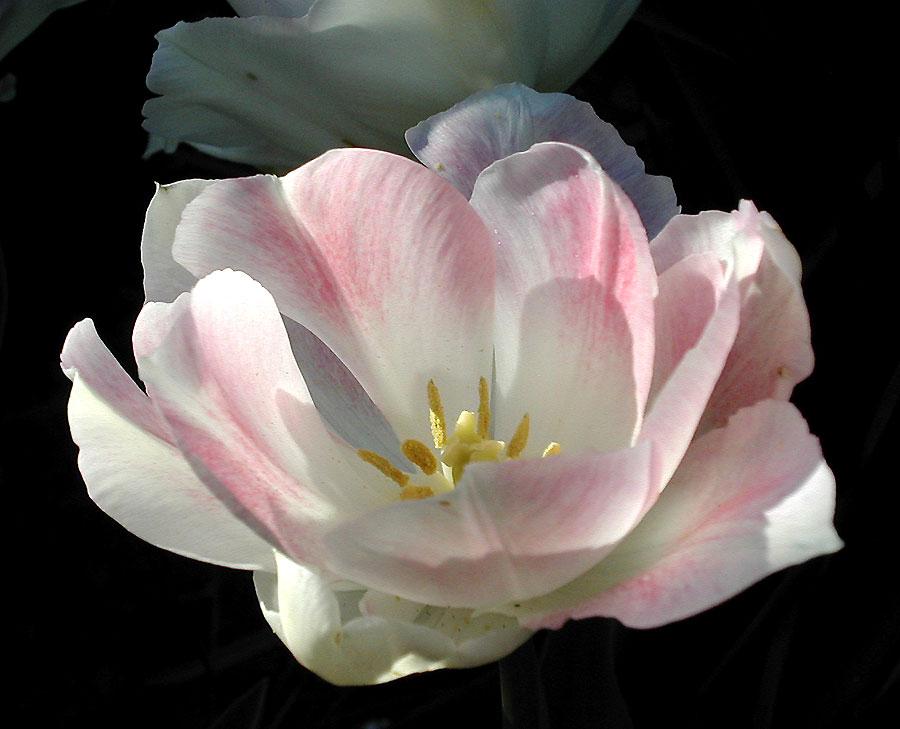 Gefüllte Tulpe 'Angelique'