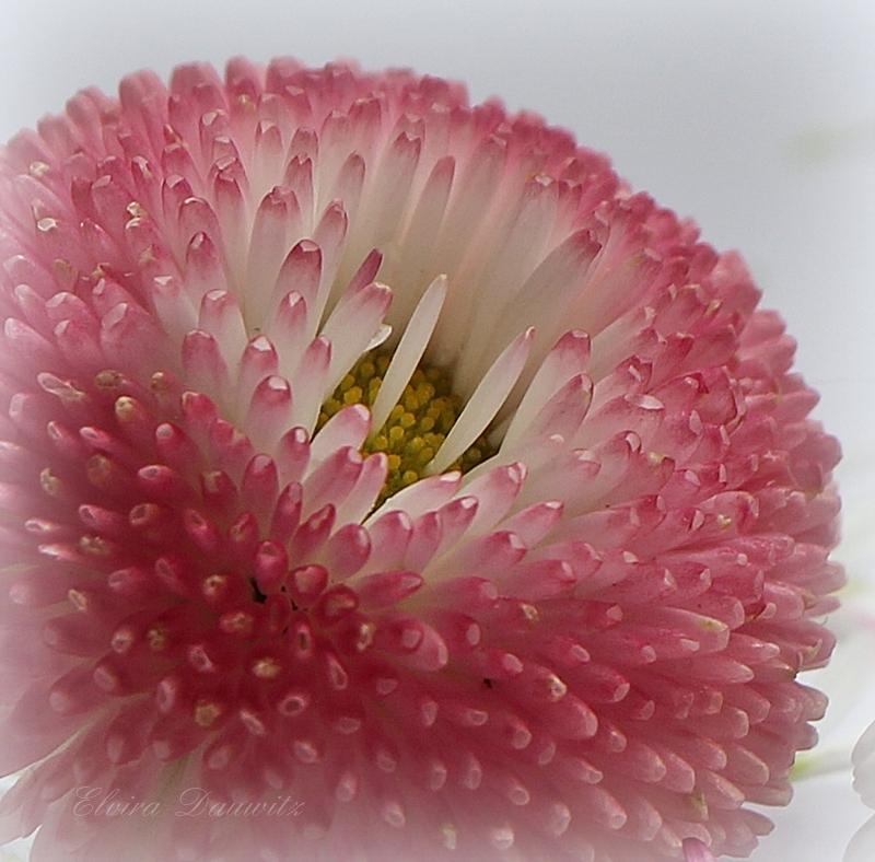 Gefülltes Gänseblümchen