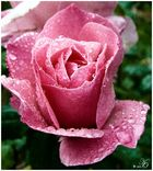 Geh die Rosen wieder anschauen, du wirst begreifen dass deine Rose einzig ist in der Welt...