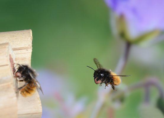 Gehörnte Mauerbiene im Flug 1