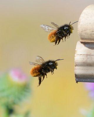 Gehörnte Mauerbiene im Flug