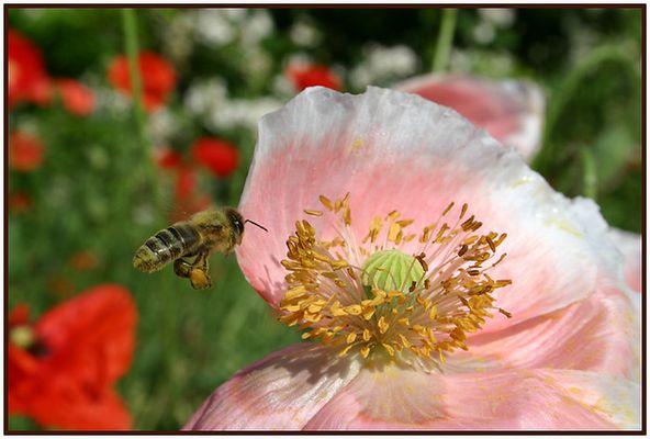 gehöselt oder Pollenhöschen