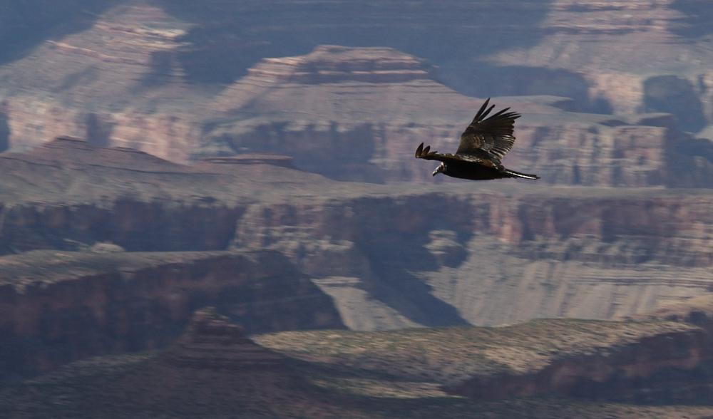 Geier im Grand Canyon