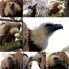 Geier im Zoo Nordhorn