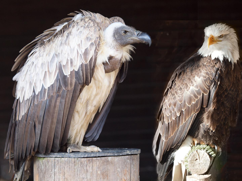 Geier und Adler