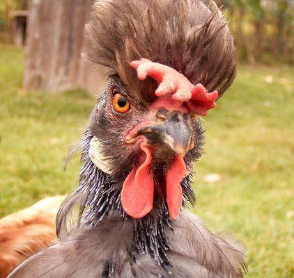 Geiles Huhn