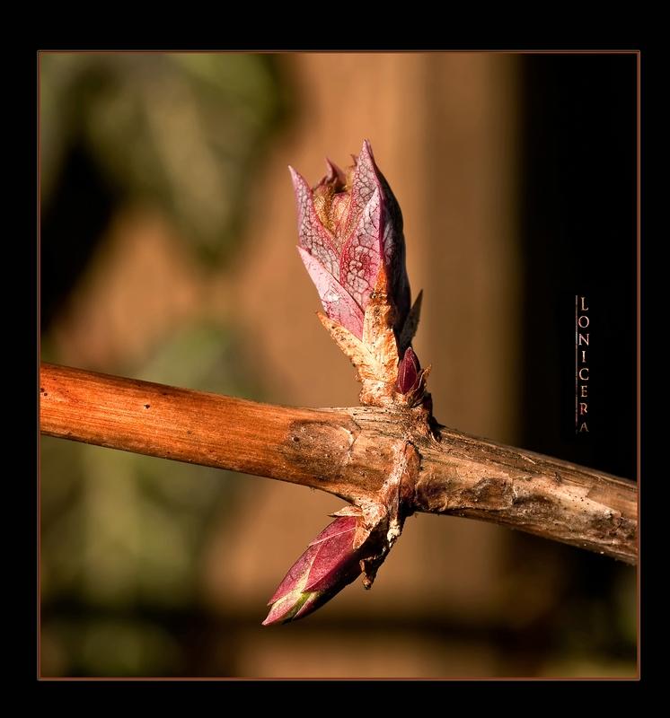 Geißblätter (Lonicera)