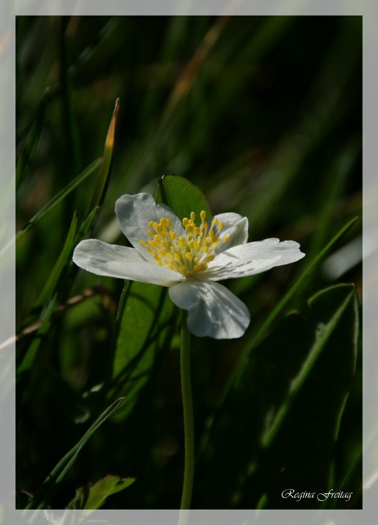 Geissenblümchen 2