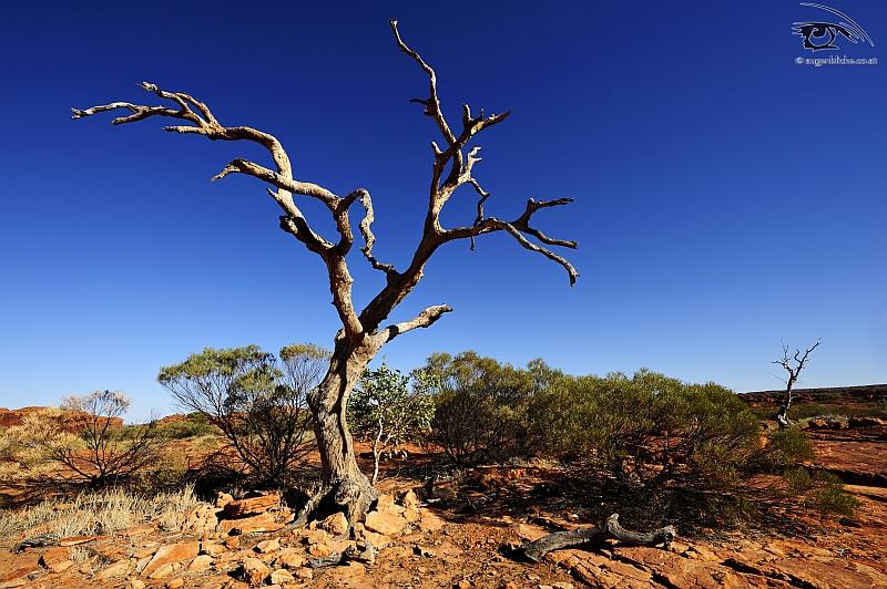 Geistereukalyptus - Kings Canyon Plateau