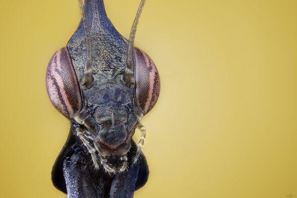 Geistermantis vol I (Phyllocrania paradoxa)