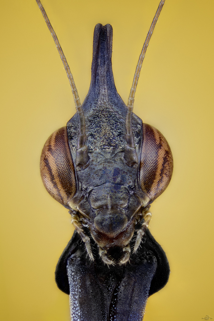 Geistermantis vol II (Phyllocrania paradoxa)