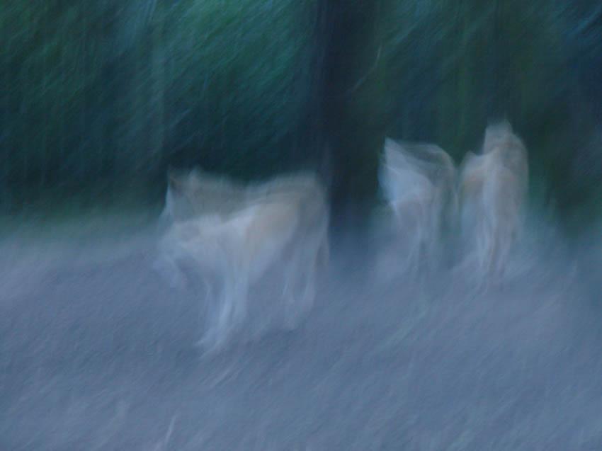 Geisterwölfe