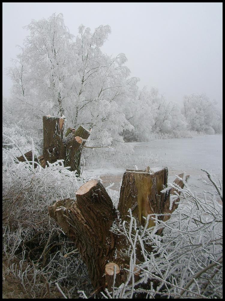 Geköpfte Kopfweiden am See