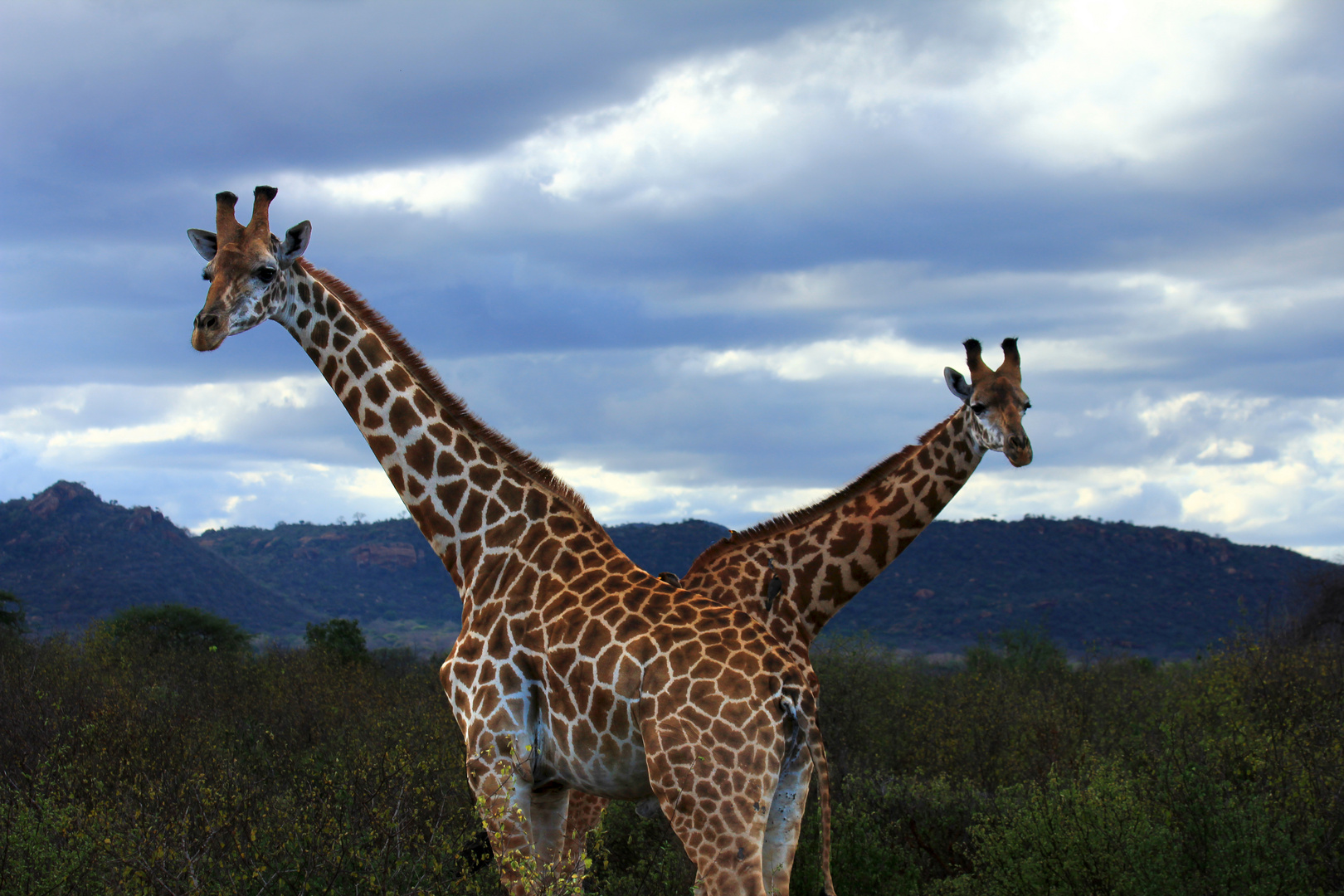 Gekreuzte Giraffen :-)