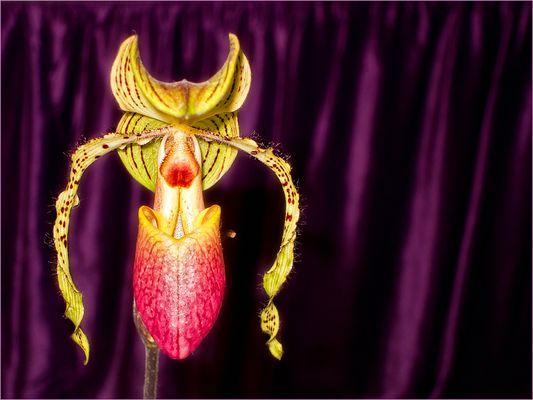 gekrönte Orchidee