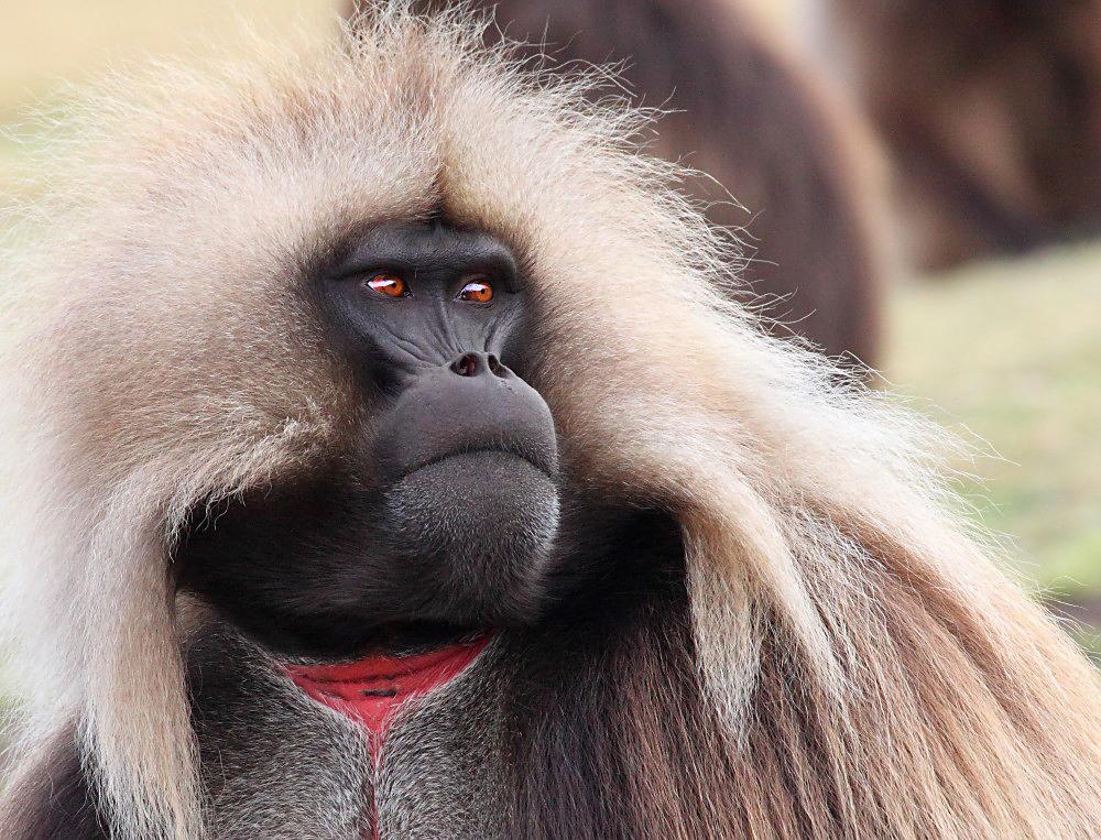 Gelada baboons 2