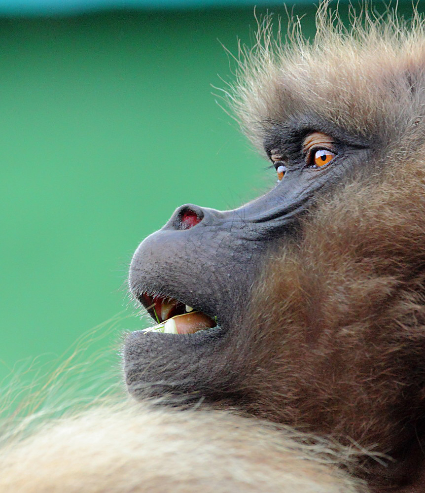 Gelada baboons 4