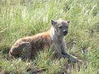 Gelangweilter Hyäne