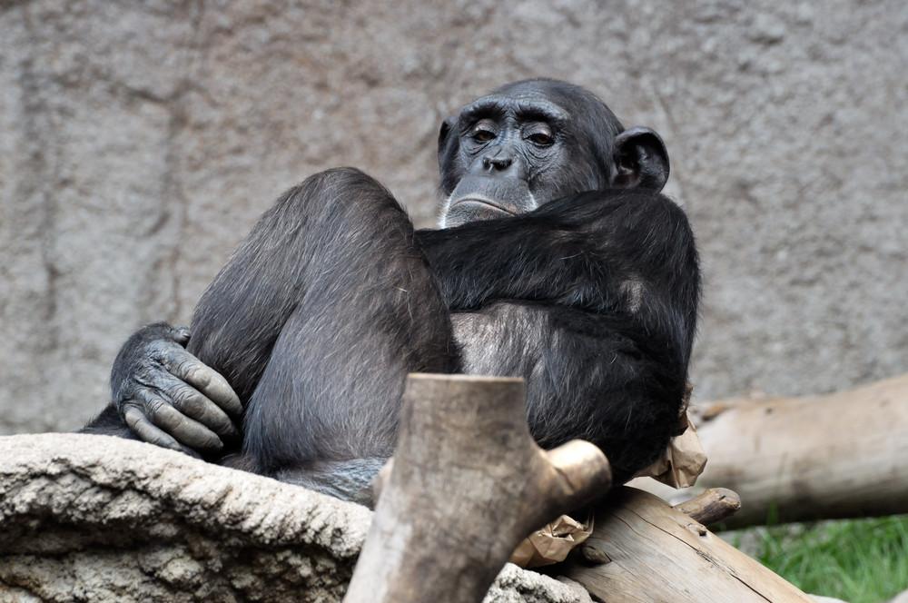 gelangweilter Schimpanse