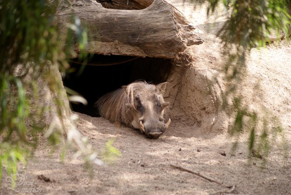 Gelanweiltes Warzenschwein