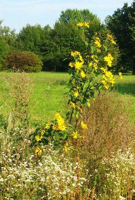 gelb-Blumen-Staude