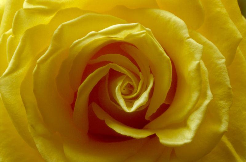 Gelb - Die Rose