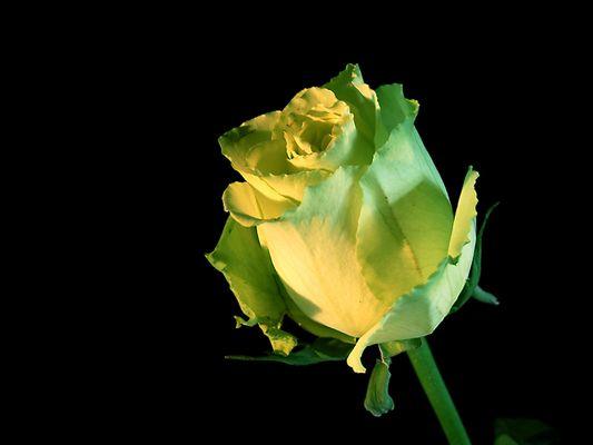 gelb-grüne Rose