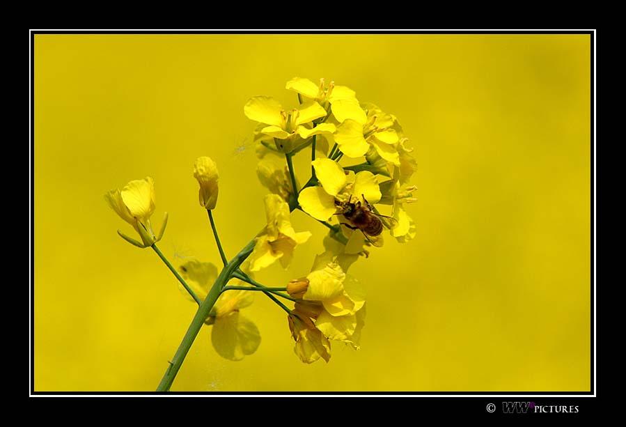 Gelb in Gelb mit Biene