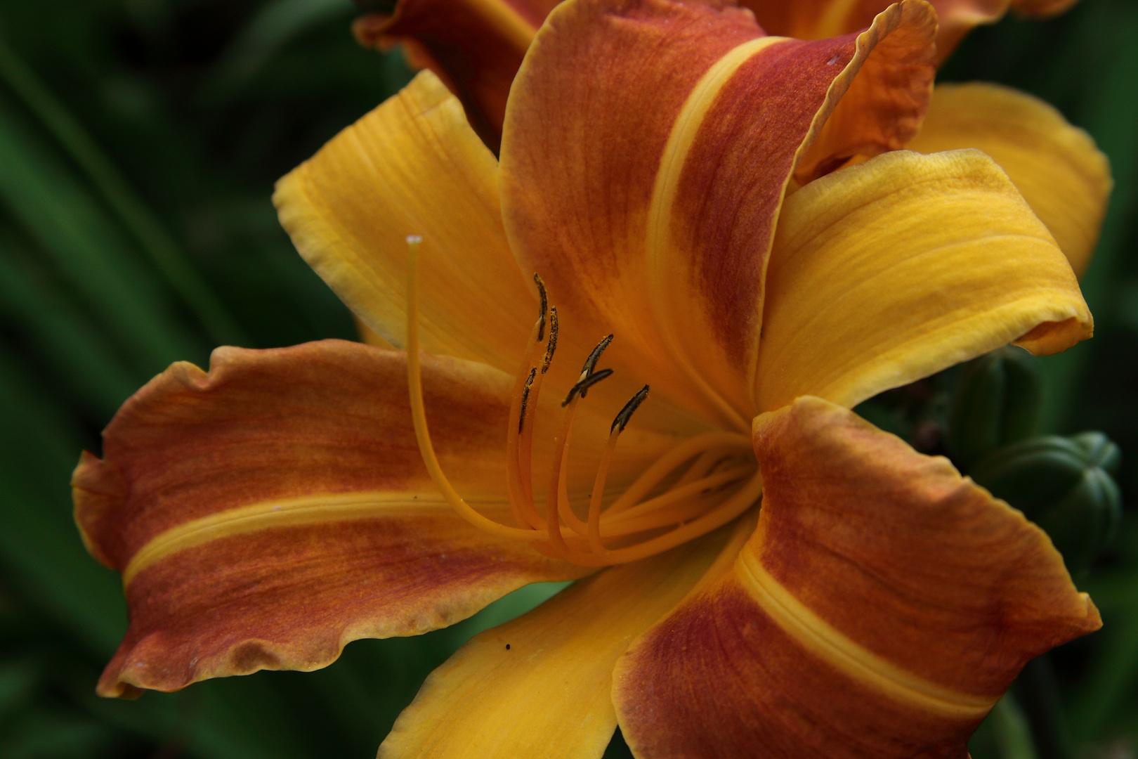 Gelb-orange Lilie...