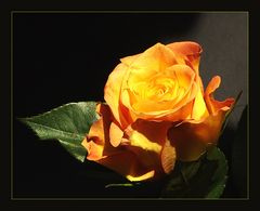 gelb orange Rose
