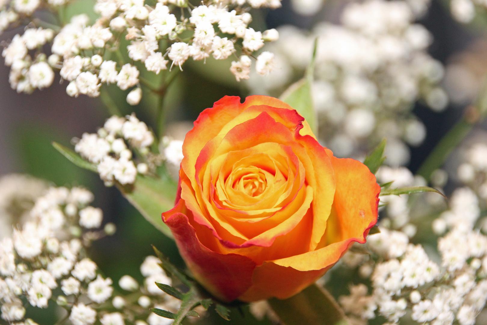 Gelb-Rote Rosenblüte im Schleierkraut
