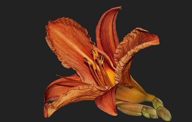 gelb-rote Taglilie (Hemerocallis fulva)... (2)