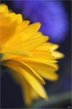 Gelb trifft kornblumenblau