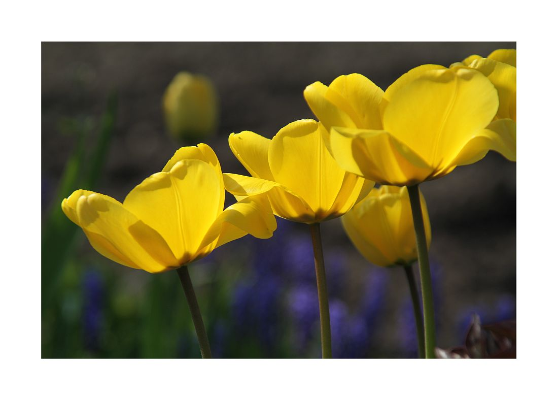 Gelb trifft Violett